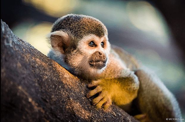 סדנת צילום קופים וחיות בשקיעה
